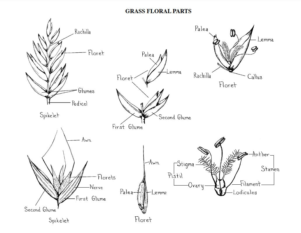 Figure 2 Grass Floral Parts Credit Norman Melvin Usda Cold Region Research And Engineering